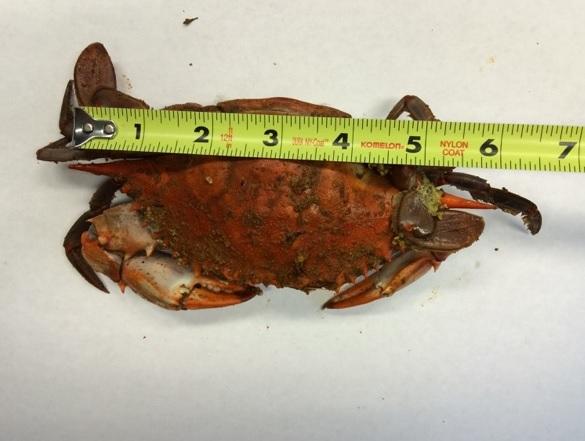 Blue Crab Sizing Chart - Maryland Crabs, Maryland Blue Crab